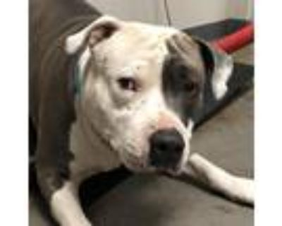 Adopt Chomper a Gray/Silver/Salt & Pepper - with Black American Pit Bull Terrier