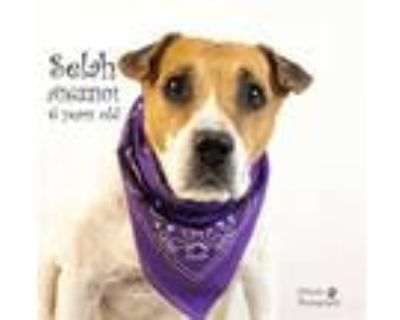 Adopt Dog a White - with Brown or Chocolate Harrier / Mixed dog in Thousand