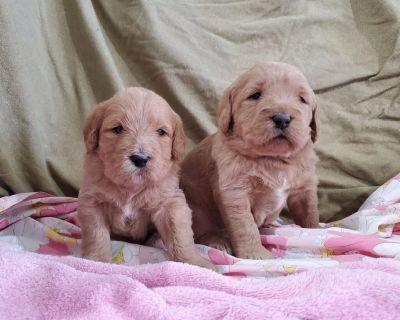 AKC Labradoodle Puppies