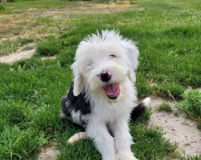 Sheepadoodle male puppies