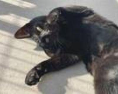 Adopt SELENE a All Black Domestic Shorthair / Mixed (short coat) cat in