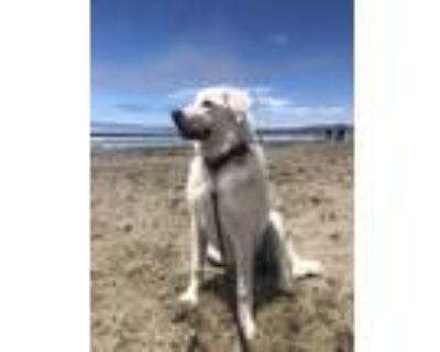 Adopt Luna a White Great Pyrenees / Labrador Retriever / Mixed dog in Fair Oaks