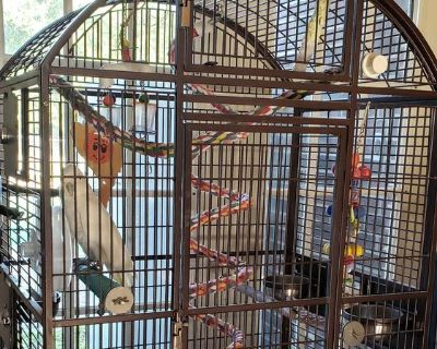 Goffin cockatoo and cage for sale.