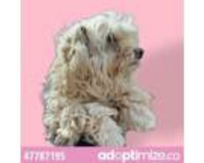 Adopt 47787195 a Poodle, Mixed Breed