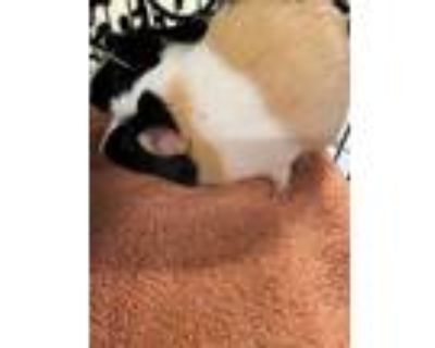 Adopt FLOOFY a Brown or Chocolate Guinea Pig / Mixed small animal in Norfolk
