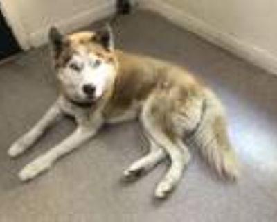 Adopt DODGER a Siberian Husky