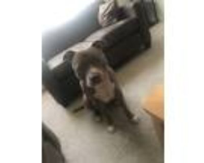 Adopt Luna a Tan/Yellow/Fawn - with White American Pit Bull Terrier / Mixed dog
