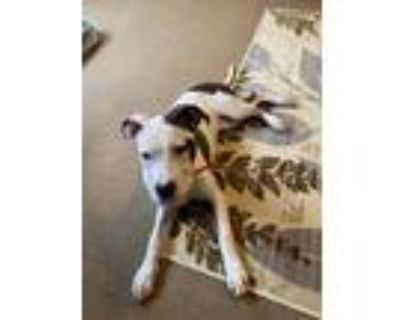 Adopt Reesie a White - with Brown or Chocolate Anatolian Shepherd / Mixed dog in