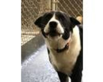 Adopt Rocky a Black - with White Border Collie / Mixed dog in Amarillo