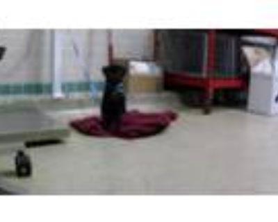 Adopt a Black Pug / Mixed dog in Pasadena, CA (31933766)