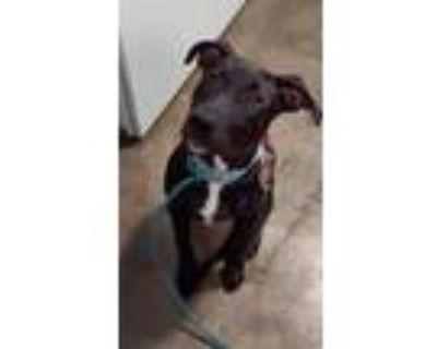 Adopt Gidget a Black Labrador Retriever / Mixed dog in Cabot, AR (31517089)