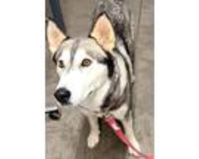 Adopt Skye a Black - with Gray or Silver Siberian Husky / Mixed dog in Tucson