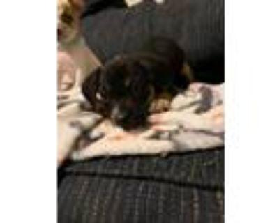 Adopt Lowanna a Black - with Brown, Red, Golden, Orange or Chestnut Blue Heeler