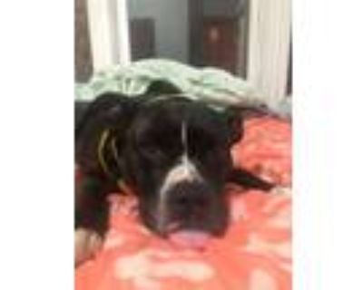 Adopt JELLY BEAN a Pit Bull Terrier, Mixed Breed