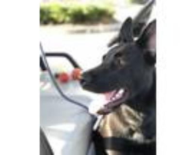 Adopt Rachel a Black Labrador Retriever dog in Ft Myers, FL (31244116)