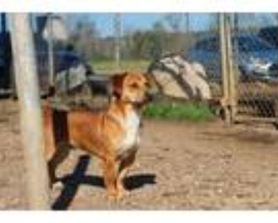 Adopt North a Labrador Retriever, Dachshund