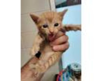 Adopt GYPSY* a Orange or Red Tabby Domestic Shorthair / Mixed (short coat) cat