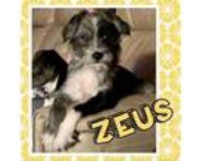 Adopt Zeus a Rat Terrier