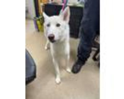 Adopt 48291815 a White Husky / Mixed dog in Fort Worth, TX (32038685)