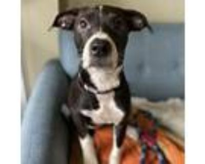 Adopt Clarabelle a Border Collie, Whippet