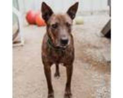 Adopt OSO a Cattle Dog, Shepherd