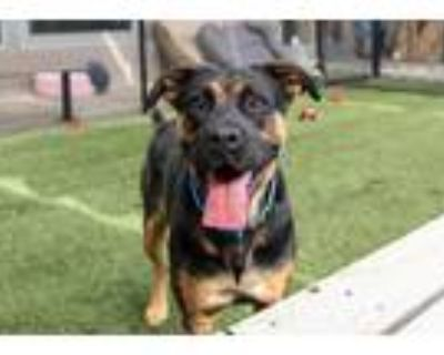 Adopt Coco a Black - with Tan, Yellow or Fawn Rottweiler / Boxer / Mixed dog in