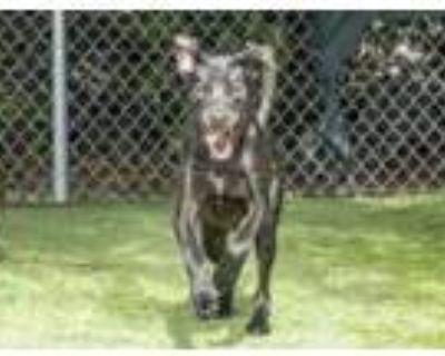 Adopt 46994655 a Black Labrador Retriever / Mixed dog in El Paso, TX (32017919)