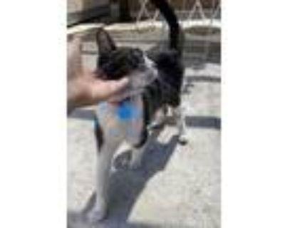 Adopt Willow a Black & White or Tuxedo American Shorthair / Mixed (short coat)