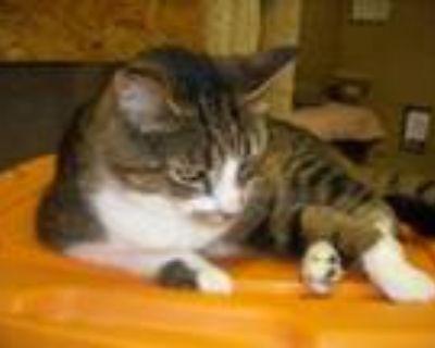 Adopt Miss Kitty a Tabby