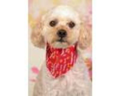 Adopt Woodrow a Poodle