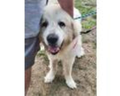 Adopt Bilboa a White Great Pyrenees / Mixed dog in West Allis, WI (31956652)