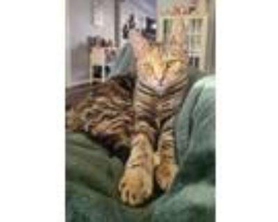 Adopt Macie a Domestic Shorthair / Mixed (short coat) cat in Hampton
