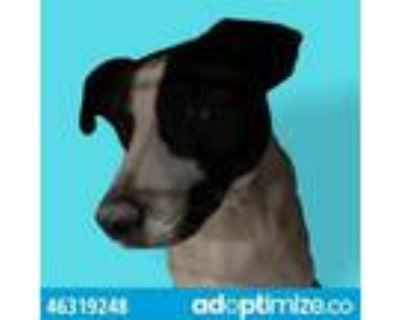 Adopt Mickey a Border Collie, Mixed Breed