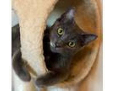 Frosty, Domestic Shorthair For Adoption In Arlington/ft Worth, Texas
