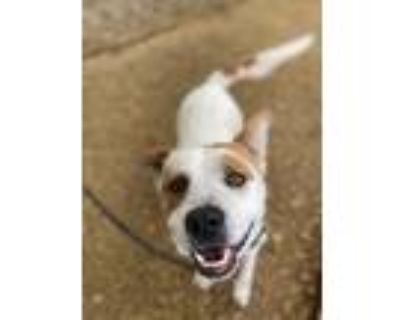 Adopt Mickey a Pit Bull Terrier / Australian Cattle Dog / Mixed dog in