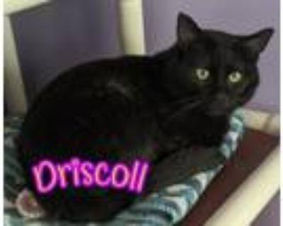 Adopt Driscoll a All Black Domestic Shorthair / Mixed (short coat) cat in Port
