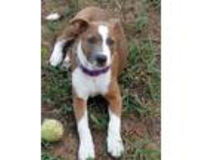 Adopt Tenille a Gray/Blue/Silver/Salt & Pepper Labrador Retriever / Mixed dog in