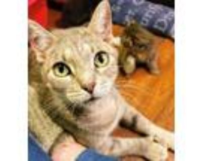 Adopt Plum a Gray, Blue or Silver Tabby Hemingway/Polydactyl (short coat) cat in