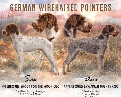 German Wirehaired Pointer Puppies