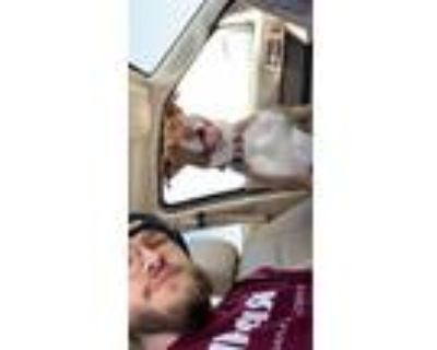 Adopt Sakura (saki) a Tan/Yellow/Fawn - with White American Pit Bull Terrier /
