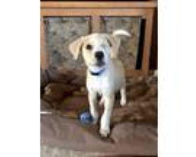 Adopt One Eyed Willie a Labrador Retriever