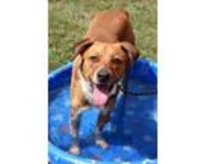 Adopt King a Brown/Chocolate Border Collie / Mixed dog in San Marcos