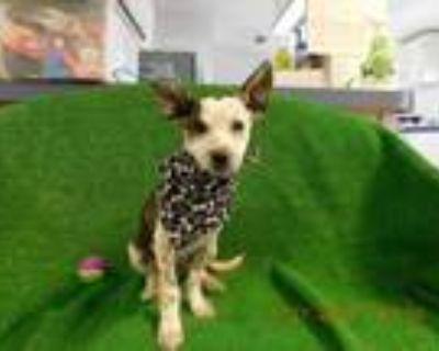 Adopt Murphy a Australian Cattle Dog / Blue Heeler, Beagle