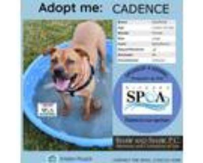 Adopt Cadence a Black Mastiff / Mixed dog in Niagara Falls, NY (31643899)