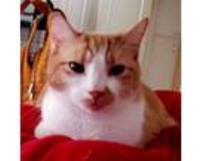 Adopt Giselle (Perfect Kitty Companion) a Domestic Short Hair, Tabby