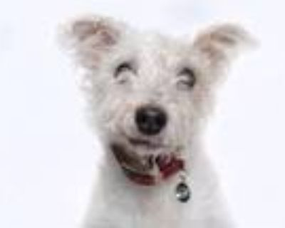 Adopt ROSIE a Parson Russell Terrier, Poodle