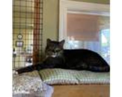 Adopt 21-130 Miss Maples a Domestic Shorthair / Mixed (short coat) cat in