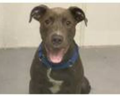 Adopt MARSHALL a Gray/Silver/Salt & Pepper - with White American Pit Bull