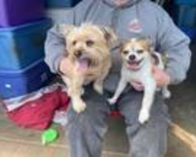 Adopt Toto a Yorkshire Terrier