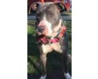 Adopt Myla a Gray/Silver/Salt & Pepper - with White Pit Bull Terrier / Mixed dog